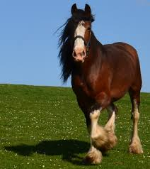 I am most at home with my Clydesdale