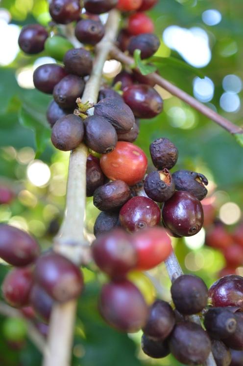 noosa black cherries